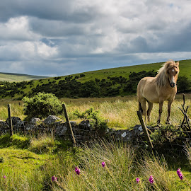 Dartmoor pony by Christoph Reiter - Landscapes Travel