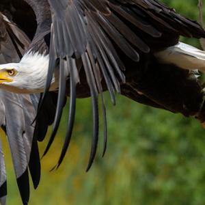 Bald Eagle Full Speed Ahead  06 05 18.jpg