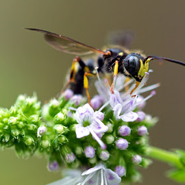 by Judy Florio - Animals Insects & Spiders ( macro, herbs, wasp?, mint, flowers, insect )