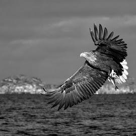 Whitetailed eagle by Roald Heirsaunet - Black & White Animals