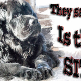 Fuzz and Sit by Sheen Deis - Typography Captioned Photos ( dogs, newfoundland )