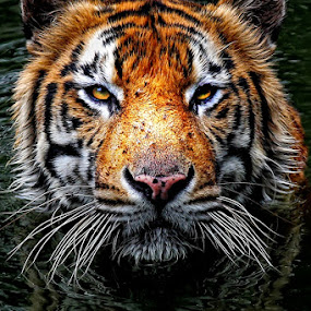 In my eyes... by Abdul Kadir - Animals Lions, Tigers & Big Cats ( tiger on the water jakarta indonesia )