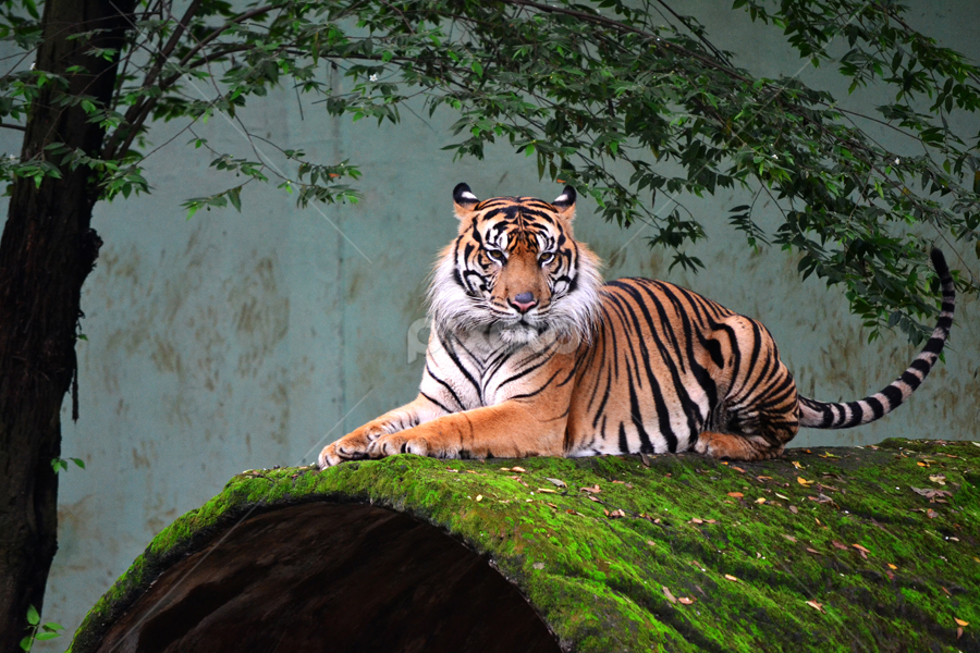 Tiger of Sumatera by Fajrul Islam - Animals Lions, Tigers & Big Cats ( big cat, animals, zoo, tiger, wildlife )