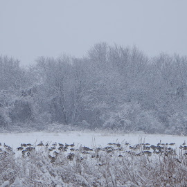 Flock of Geese in a Frozen River by Kristine Nicholas - Novices Only Landscapes ( snowstorm, waterscape, canadian geese, marsh, landscape, birds, flock, grasses, reservoir, snow, weather, wet, water, grass, canadian goose, snowy, water birds, seabird, snowing, water bird, bird, estruary, winter, seabirds, wetlands, trees, blizzard, geese, goose, river )