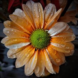 Little orange flower in the rain by Mary Gallo - Flowers Single Flower ( orange flower, nature, single flower, orange colored flower, rain drops, flower,  )