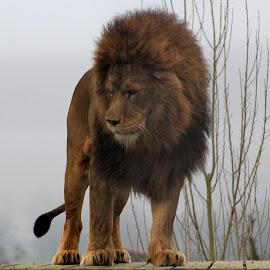 by Sandra Collett - Animals Lions, Tigers & Big Cats