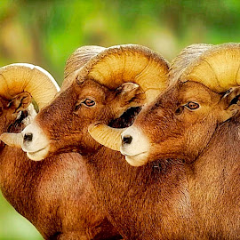 The Boys by Bruce Newman - Animals Other Mammals ( large rams, dramatic, wildlife, bighorn, portriat )