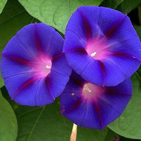 by Anita Frazer - Flowers Single Flower ( annuals, vine, flower,  )