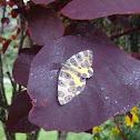 Leopard Moth