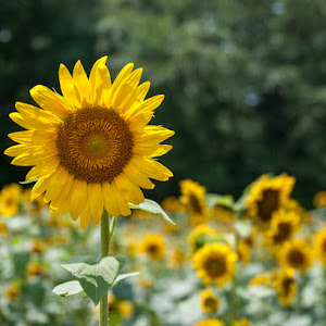 071011_1840_Sunflowers.jpg