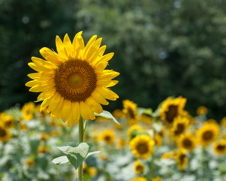 Sunny Flower by Brian Young - Nature Up Close Gardens & Produce ( field, petals, sunflower, landscape, spring, flower, sun )