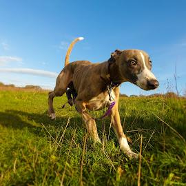 Running Lurcher by Jenny Trigg - Animals - Dogs Running ( dog, running, lurcher, whippet )