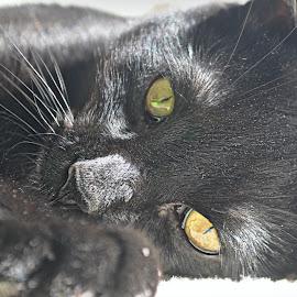 Black Kitten Portrait - by B Lynn - Animals - Cats Portraits ( face, cat, eyes, cats, love, pets, black kittens, kittens, gold, baby, portraits, animal, mammals, up close, kitten, animals, sharp, hdr, black kitten, black cats, ground level, baby animals, close up, portrait, black cat, mammal, portraiture, sweet, pet, golden )