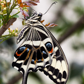 The Emperor Swallowtail, Papilio ophidicephalus phalusco by Simon Joubert - Animals Insects & Spiders ( butterfly, emperor, south africa, simon joubert, swallowtail )