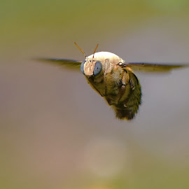 Kambang by Just Arief - Animals Insects & Spiders ( macro, bee, insect, photography, in flight )