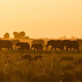 Chobe sunset by Gene Myers - Animals Other Mammals ( shotsbygene, chobe, elephants, botswana, sunset, herd, wildlife, africa, gene myers )