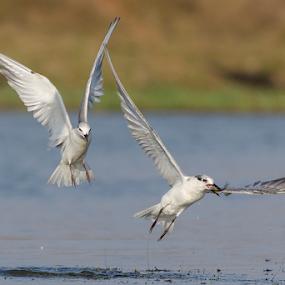 Catch - Whiskered Tern by Shambhunath Sadhu - Animals Birds