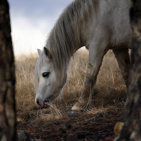 Welsh pony mare by Glenys Lilley - Animals Horses ( welsh pony.horse )