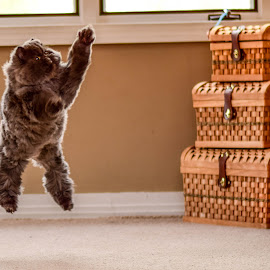 Flying Kitty by Sean Saldan - Animals - Cats Playing ( playing, ewok, kitten, cat, jumping, persian, raspberry, happy, fun, kitty )