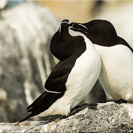 Razorbill Romance by Stan Lupo - Animals Birds ( nature, birds as art, courtship behavior, avian photography, wildlife, avian art, bird photography,  )