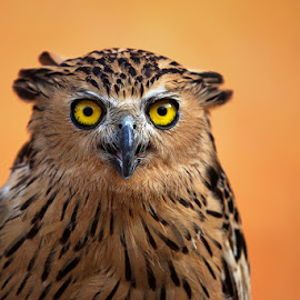 Say Hello by Zainal CZmania - Animals Birds ( bird, orange, owl, wildlife, eyes )