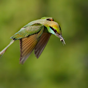 A meal in flight by Masood Hussain - Animals Birds ( flying colors, freedom, glide, wildlife, birds, birding, free, ornithology, sky, nature, wings, action, ecology, feed, bird photography, biology, limit, green bee eater, majestic, colors, glory, bird pictures, bird photos, forest, prey, snack, magnificent, bird shots, bird, flight, jungle, blue, fly, food, take off, eat, high, natural )