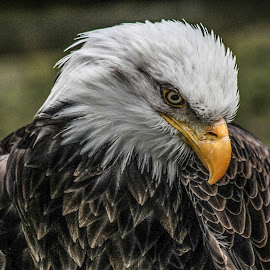Dollar by Garry Chisholm - Animals Birds ( bird, nature, wildlife, prey, raptor )
