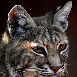 Bobcat - Scooter by Shawn Thomas - Animals Lions, Tigers & Big Cats