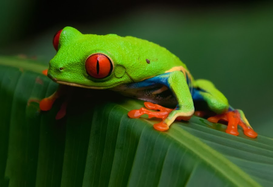 Red Eyed Tree Frog by Berl Thomas - Animals Amphibians ( red, frog, green, costa rica, wildlife,  )