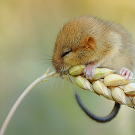 A little mouse by Cvetka Zavernik - Animals Other ( macro, mouse, nature, nature up close, wheat )