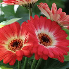 by Don Cailler - Flowers Flower Gardens ( red, daisy, garden, flower )