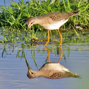 Walking On Mirrors by Howard Sharper - Animals Birds ( wetlands, reflections, shorebird, nature up close, wildlife )
