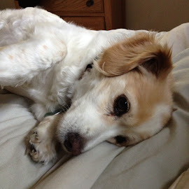 waiting on belly rubs by Amber O'Hara - Animals - Dogs Portraits ( bed, waiting, white, brown, dog, lilly )