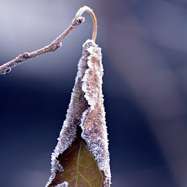 Loneliness... by Doru Sava - Nature Up Close Other plants ( winter, frost, leaf )