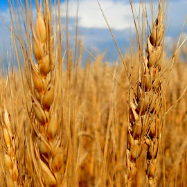 Ripe by Donald Henninger - Landscapes Prairies, Meadows & Fields ( grasses, wheat, field, macro, sky, grains, sony alpha, colorado, nature up close, oats )