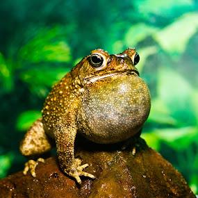 Croak Croak by Ralf Harimau Weinand - Animals Amphibians ( toat, croak )