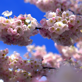 Campus Blossoms by Bill Foreman - Nature Up Close Trees & Bushes ( flowering, trees, springtime, spring, cherry blossoms )