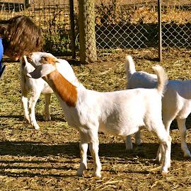 Farmyard near Clayton, California by Kathleen Koehlmoos - Animals Other Mammals ( farm animals, goats, barnyard, nose to nose, farmyard, barnyard animals )