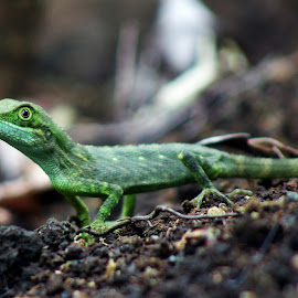 by Indra Fardhani - Animals Reptiles