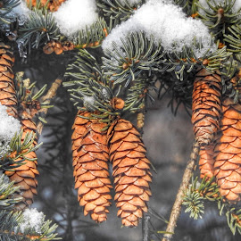 Snow Cones by Patricia Phillips - Nature Up Close Trees & Bushes ( trees pines cones snow )