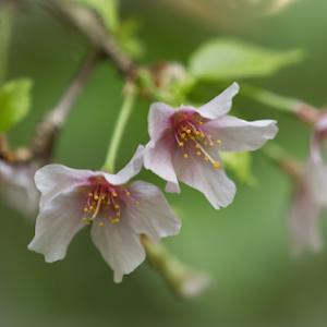 Cherry Blossums 06 03 18.jpg
