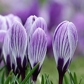 Purple Spring Crocuses by Sandra Cockayne - Nature Up Close Flowers - 2011-2013 ( spring flower, nature, flora, purple flowers, crocus, sandra cockayne, natural, flower, floral,  )