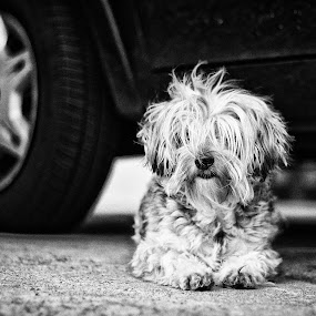 Meg! by Gilberto Jr. - Animals - Dogs Portraits ( animals, meg, b&w, dog, portrait )