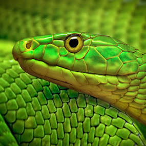 Green by Michael Milfeit - Animals Reptiles ( snake, dendroaspis viridis, nebulas, grüne mamba, giftnatter, giftschlange, , color, colors, landscape, portrait, object, filter forge )