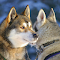 Huskies Dogs Wallpapers 1.0 Apk