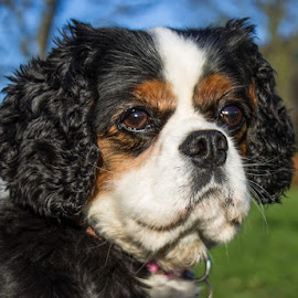 Kim by Tracey Dolan - Animals - Dogs Portraits
