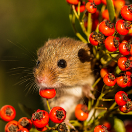 Mouse by Garry Chisholm - Animals Other Mammals ( mouse, berry, nature, rodent, berries, mice )