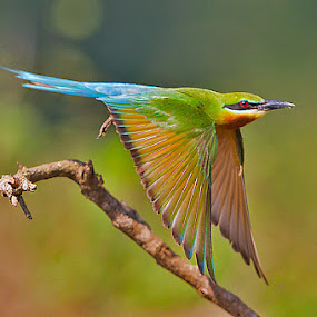 BLUE-TAILED BEE-EATER by Mohan Munivenkatappa - Animals Birds