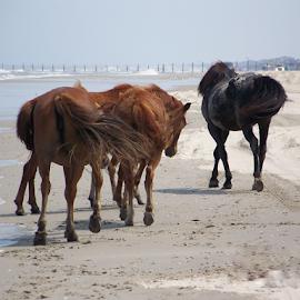 by Brian Ashcraft - Animals Horses ( fla vac 10,  )