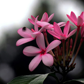 Pink Beauty by Protim Banerjee - Novices Only Flowers & Plants